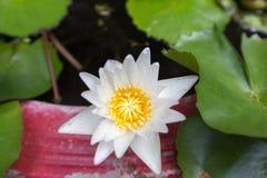 Bello fiore di loto, sfuocatura scelta del fuoco del fiore di loto bianco o fuoco molle vago, fondo del fiore di Lotus Fotografie Stock Libere da Diritti