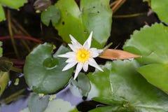 Bello fiore di loto, sfuocatura scelta del fuoco del fiore di loto bianco o fuoco molle vago, fondo del fiore di Lotus Immagini Stock Libere da Diritti