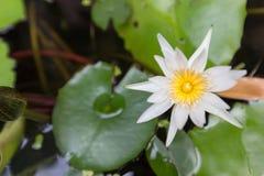 Bello fiore di loto, sfuocatura scelta del fuoco del fiore di loto bianco o fuoco molle vago, fondo del fiore di Lotus Immagine Stock
