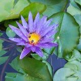 Bello fiore di loto viola Immagini Stock