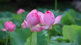 Bello fiore di lotu dei gemelli stock footage
