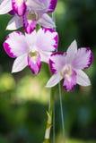 Bello fiore di mutazione della spruzzata di rosa del Dendrobium Fotografie Stock Libere da Diritti