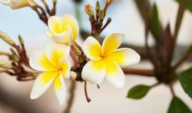 Bello fiore di plumeria Fotografia Stock Libera da Diritti