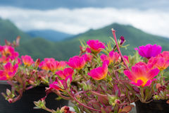 Bello fiore di portulaca oleracea Fotografie Stock