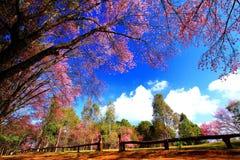 Bello fiore di rosa del ramo o campo himalayano selvaggio di fioritura dell'albero di Cherry Sakura Thailand fotografia stock libera da diritti
