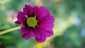 Bello fiore di rosa selvaggio Immagine Stock Libera da Diritti