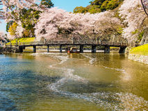 Bello fiore di Sakura a Hikone, Giappone 4 Fotografia Stock Libera da Diritti