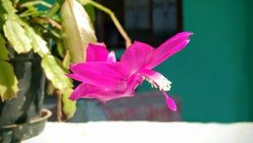 Bello fiore di seta rosa nel giorno soleggiato Fotografia Stock