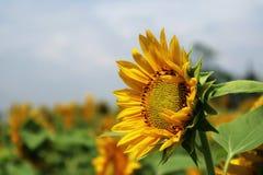 Bello fiore di Sun di mattina Immagine Stock