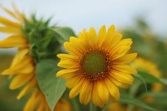 Bello fiore di Sun di mattina Fotografie Stock Libere da Diritti