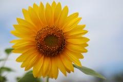 Bello fiore di Sun di mattina Immagini Stock Libere da Diritti