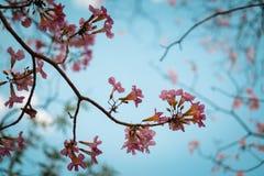 Bello fiore di tromba rosa che fiorisce, fuoco selettivo Fotografia Stock