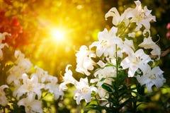 Bello fiore di un giglio. Fotografia Stock