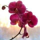 Bello fiore di un'orchidea Immagine Stock Libera da Diritti