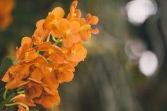 Bello fiore di zinnia che fiorisce contro il fondo verde Immagine Stock Libera da Diritti