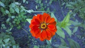 Bello fiore di zinnia in giardino Priorità bassa floreale Fotografia Stock