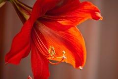 Bello fiore domestico del Amaryllis Immagini Stock