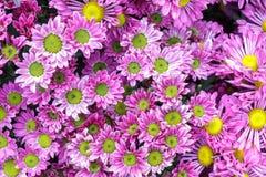Bello fiore e fondo verde della foglia in giardino al giorno soleggiato della primavera o di estate Fotografia Stock Libera da Diritti