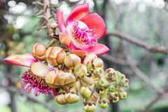 Bello fiore e fondo verde della foglia in giardino floreale Fiore della palla di cannone Immagine Stock
