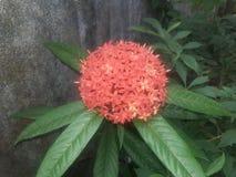 bello fiore eccellente di colore rosso immagini stock libere da diritti