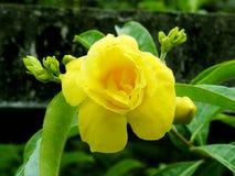 Bello fiore giallo del Allamanda Fotografia Stock