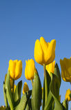 Bello fiore giallo del tulipano nel giardino. Fotografia Stock