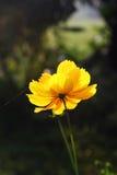 Bello fiore giallo dell'universo. Fotografie Stock