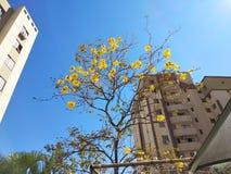 Bello fiore giallo della molla contrariamente al cielo blu fotografia stock libera da diritti