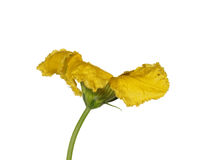 Bello fiore giallo della zucca, isolato su fondo bianco Fotografie Stock