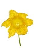 Bello fiore giallo della zucca, isolato su fondo bianco Fotografia Stock