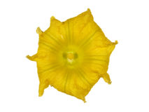 Bello fiore giallo della zucca, isolato su fondo bianco Fotografia Stock Libera da Diritti