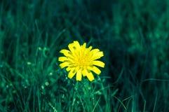 Bello fiore giallo di dandalion Macro immagine del dandalion Fotografia Stock Libera da Diritti