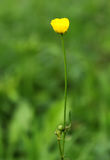 Bello fiore giallo di estate in erba verde Fotografie Stock