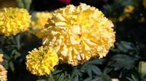 Bello fiore giallo Luna piena Fotografia Stock Libera da Diritti