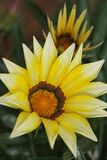 Bello fiore giallo nel Nord della Tailandia immagini stock libere da diritti