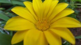 Bello fiore giallo per fondo Fotografia Stock Libera da Diritti