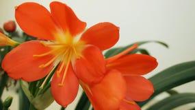 Bello fiore giallo rosso del gambo alla molla immagine stock