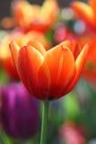 Bello fiore giallo rosso del tulipano Fotografia Stock