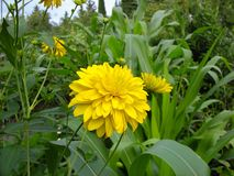 Bello fiore giallo in un giardino Fotografie Stock Libere da Diritti