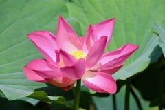Bello fiore in giardino Fotografie Stock