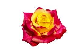 Bello fiore insolito di Rosa che soddisfa all'occhio una combinazione piacevole di colori isolato immagini stock