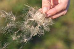 Bello fiore lanuginoso e molle della bardana in autunno contro lo sfondo di un prato immagini stock
