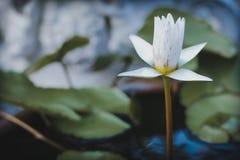 Bello fiore Lotus bianco nello stagno Immagine Stock