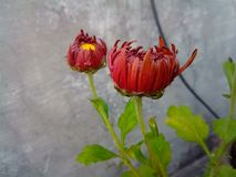 Bello fiore marrone del giardino con le goccioline di acqua fotografia stock libera da diritti
