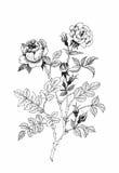 Bello fiore monocromatico e in bianco e nero isolato Linee di contorno disegnate a mano colpi Fotografia Stock Libera da Diritti