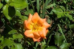 Bello fiore nella foresta Fotografia Stock