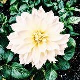 Bello fiore nella pioggia Fotografia Stock