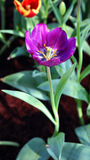 Bello fiore porpora Immagini Stock