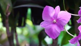 Bello fiore porpora che fiorisce nel giardino, fondo dell'orchidea della natura video d archivio