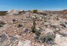 Bello fiore porpora dell'yucca che fiorisce vicino alla cresta del Meteor Crater nell'alto deserto dell'Arizona del Nord fotografia stock